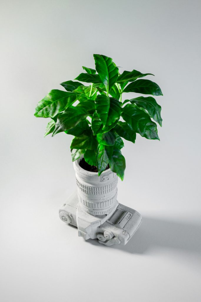 Specialty PaL Coffee plant in a camera shaped cement pot